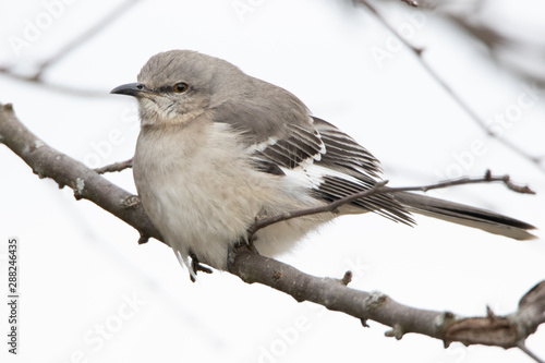 Fat mockingjay sitting on tree branch Canvas-taulu