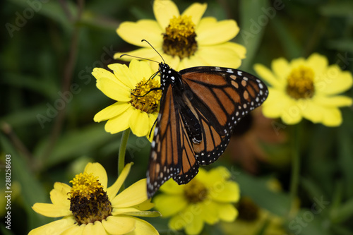 Monarch butterfly resting on yellow flower