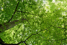 Natural Forest Of Beech