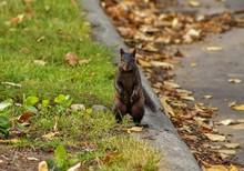 Black Squirrel In A Calgary Park