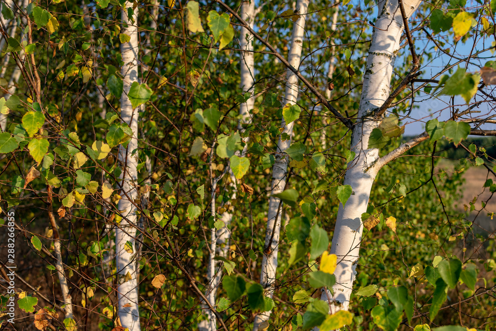 Young birch trees in the evening in early autumn