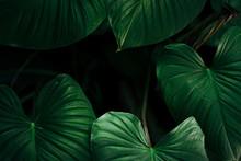 Elephant Ear Plant Green Leave...