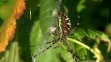 Eine Wespenspinne Hängt In Ihrem Vom Wind Bewegten Netz (Unterseite)