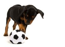 German Pinscher Puppy Playing