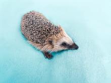 Cute Wild Hedgehog On The Blue...