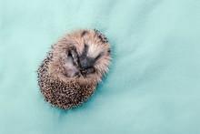 Cute Wild Hedgehog Curled Up O...