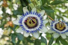 Flower Of A Blue Passionflower...