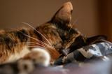 Kot odpoczywa, kolorowe futro, blisko.