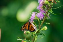 Monarch Butterfly, Danaus Plex...