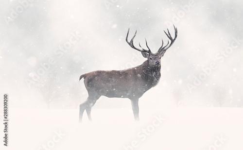 Foto auf Leinwand Hirsch Deer Stag in Snow