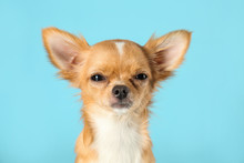 Cute Small Chihuahua Dog On Light Blue Background