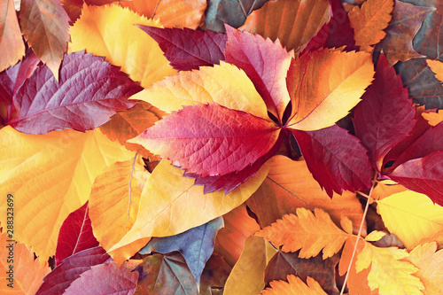 Fotomural Autumn leaves, colorful leaves covered the ground in forest