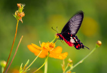 Butterfly Kissing The Flower.