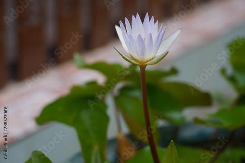 Fotografía  Water lily has rhizomes and flows underground