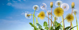 Fototapeta Dmuchawce - Yellow dandelions with leaves and seeds blowing away in the wind across a clear blue sky.
