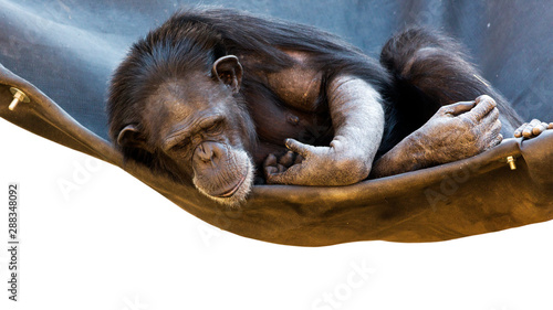 Photo sur Aluminium Singe chimpanzee on a hammock with white background and room for text