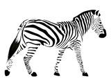 Fototapeta Fototapety na ścianę do pokoju dziecięcego - Zebra with black stripes isolated on a white background.