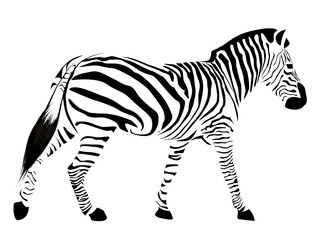 Zebra with black stripes isolated on a white background.
