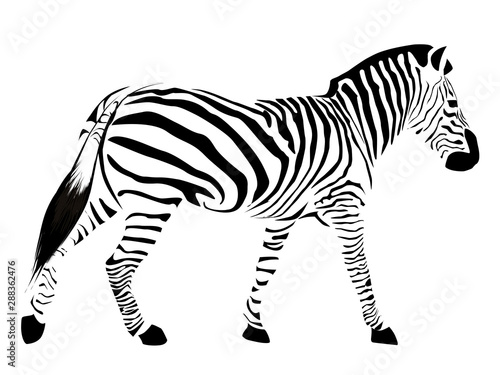Zebra with black stripes isolated on a white background. Canvas Print