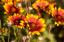 Several Sharp Gaillardia Flower On Flowerbed. Bright Colored, Warm Shades, With Yellow Border. Sunny Summer Day.