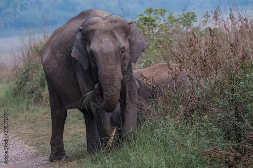 Aluminium Prints Elephant Big Tusker family at Jim Corbett National Park