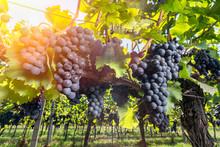 Vineyard With Ripe Grapes Duri...
