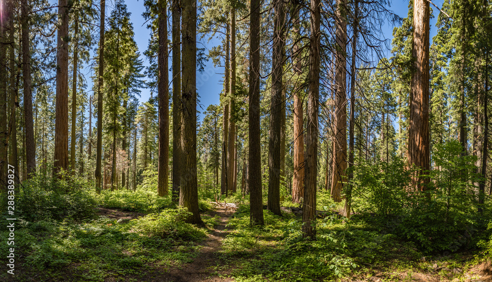 Fototapety, obrazy: Small path winds between very tall redwood trees in a national park