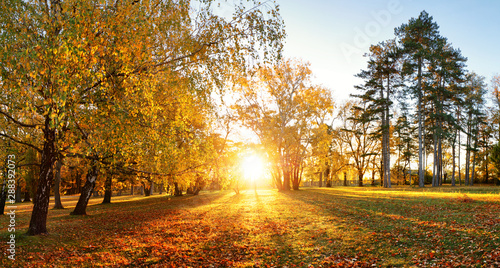 Obraz Trees with multicolored leaves on the grass in the park. Maple foliage in sunny autumn. Sunlight in early morning in forest - fototapety do salonu