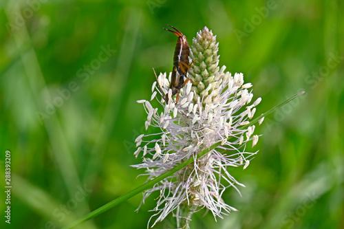 Photo Ohrwurm (Dermaptera) an der Blüte des Spitzwegerich (Plantago lanceolata) - ribw