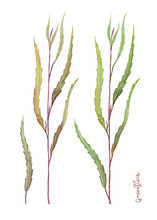 Grevillea Natural Leaves. Greenery For Bouquets, Flower Compositions And Greeting Cards. Watercolor Illustration.