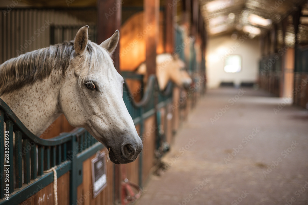 Fototapeta A pony's head over the loosebox gate in the stable