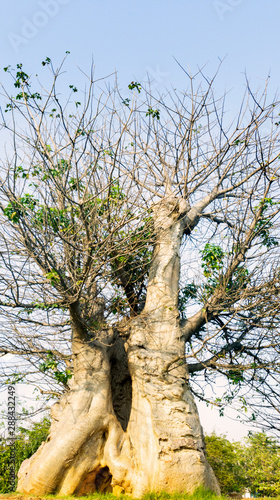 Big Baobab tree under blue sky Canvas Print