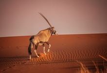 Oryx Climbing Red Sand Dune In...