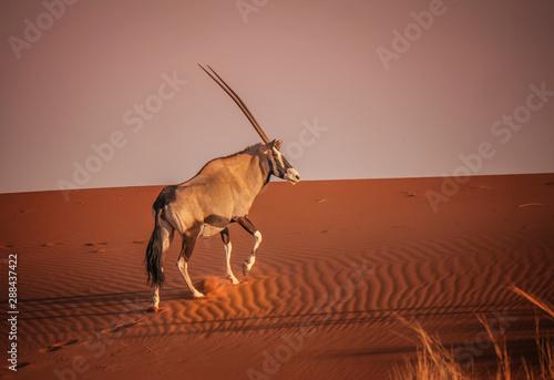 Oryx climbing red sand dune in Sossusvlei, Namib Desert, Namibia. Wallpaper Mural
