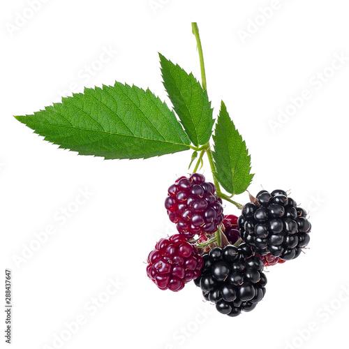 Fototapeta branch of blackberries isolated on white