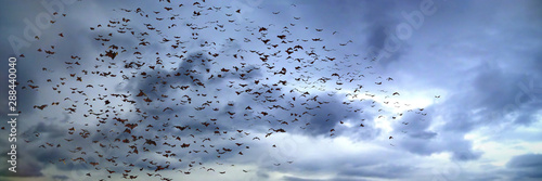 Cuadros en Lienzo large group of flying bats, mega bats in the sky