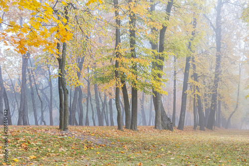 row of trees standing in foggy autumnal park with yellow bright foliage  © Mr Twister