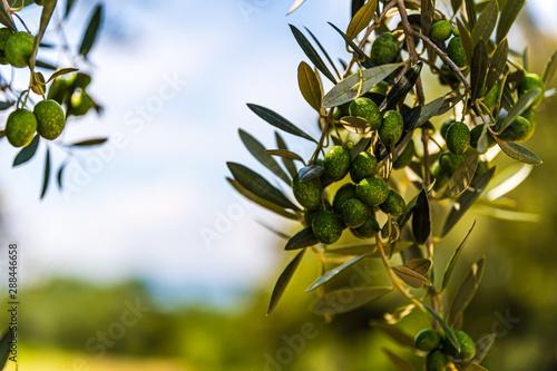 Poster Olijfboom オリーブの木