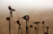 Many Withered Thistles In Fog,...