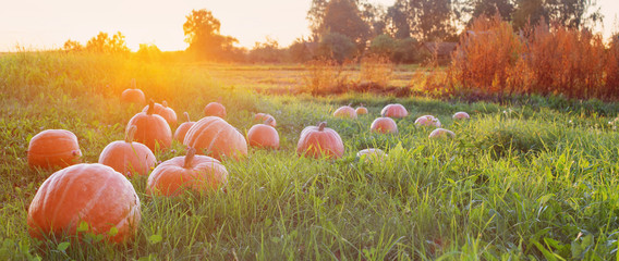 field with pumpkins at sunset