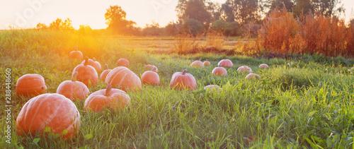 Foto op Aluminium Herfst field with pumpkins at sunset