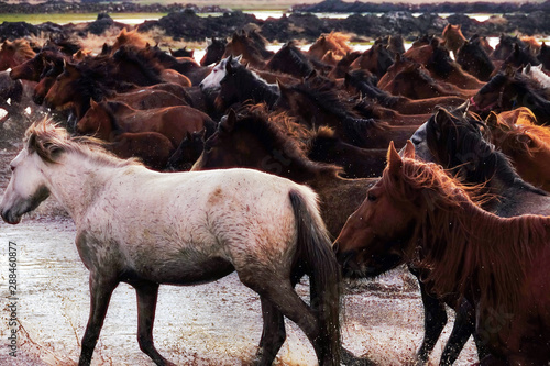 Close up herd of wild horses running in river water in nature
