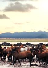 Close Up Herd Of Wild Horses R...