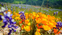 California Poppy And Lupin Wil...