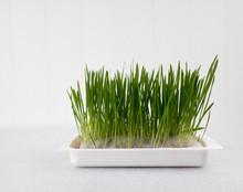 Pet Grass, Cat Grass, Chives