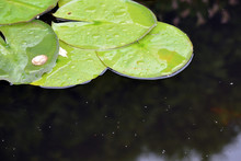 Green Leaves With Water Drops On Black Water Background