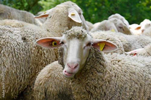 Schafherde (Merinolandschaf / Württemberger) - Sheeps