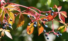 Parthenocissus Quinquefolia - ...