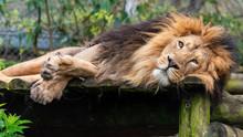 Leepy Male Lion In Captivity