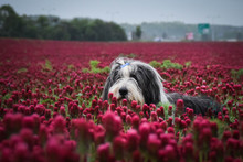 Portrait Of Bearded Collie, Wh...